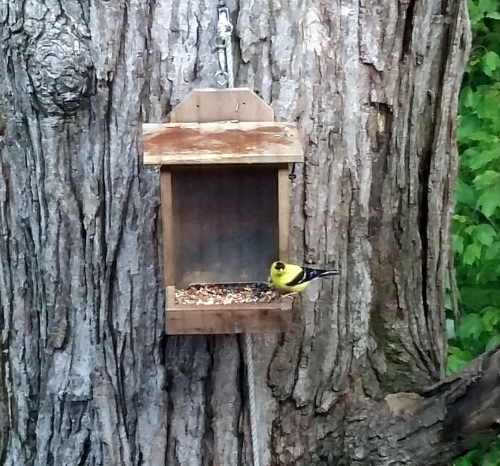 My son grabbed this photo for me one day.  We usually have about 5 pair of American Goldfinches running around.  But they aren't much for sitting still.  They will be molting into their olive green winter clothes soon.